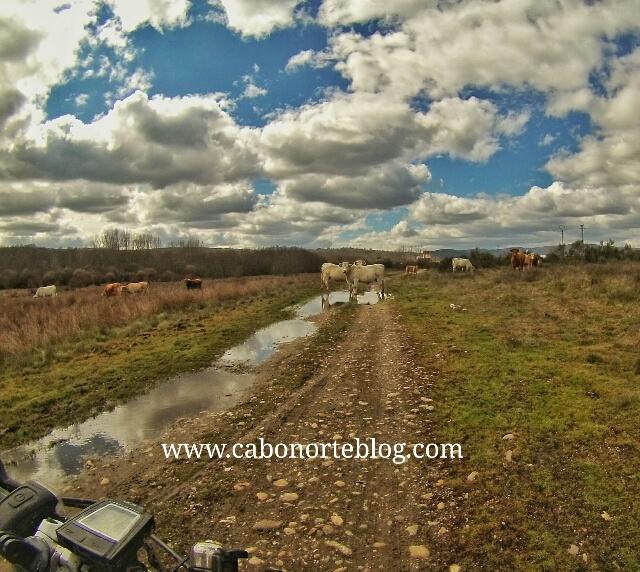 camino de santiago, camino sanabrés, vacas, bici, sanabria