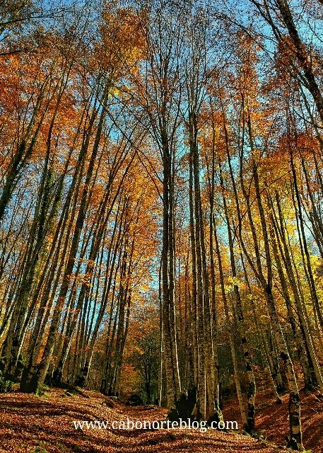 Hayedo en otoño en la Selva de Irati