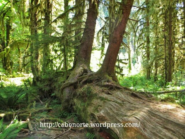 Bosque en Olympic