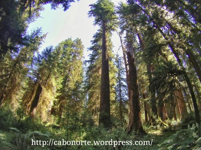 Bosque de coníferas en Olympic