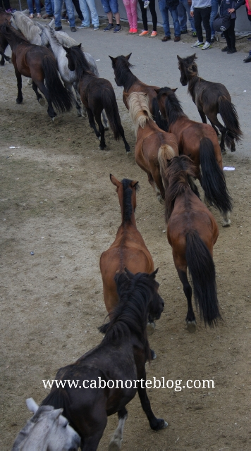 Cabalos saíndo do curro